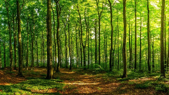 Beautiful green sunlit forest for National Grid article
