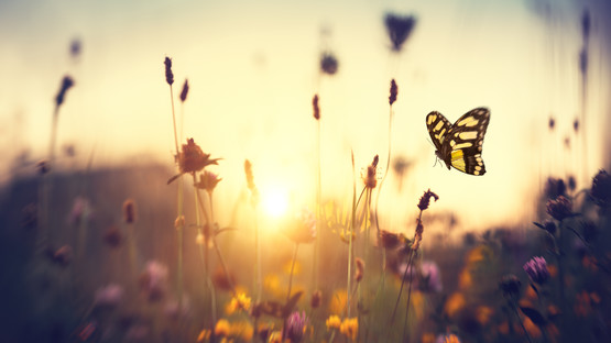A low shot of flowers shooting up from a meadow with a butterfly in the foreground and the sun setting behind